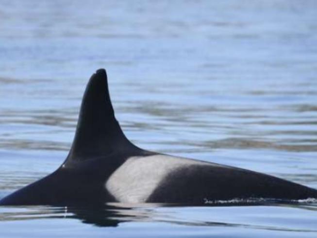 Cá voi sát thủ già nhất thế giới Granny đã chết?