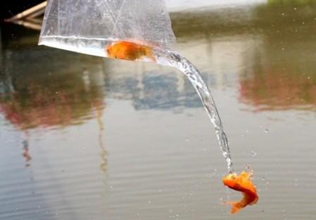 Cá chép vừa thả xuống kênh đã có người canh để bắt lại