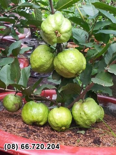 Thí điểm thành công giống ổi trồng trong chậu cho nhiều trái