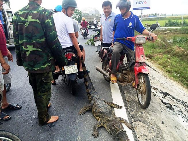 Bắt cá sấu nặng khoảng 30kg 'đi lạc' trên quốc lộ