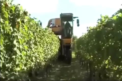 Công nghệ thu hoạch nho, dâu tây, bắp cải siêu nhanh