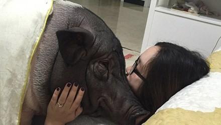 Chồng ghen tỵ vì vợ suốt ngày ăn ngủ với... lợn cưng
