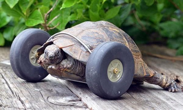 """Chú rùa """"hồi sinh"""" khi được lắp bánh xe làm chân giả"""