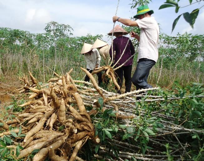 Dừng thu thuế để tháo gỡ khó khăn cho doanh nghiệp, người trồng sắn