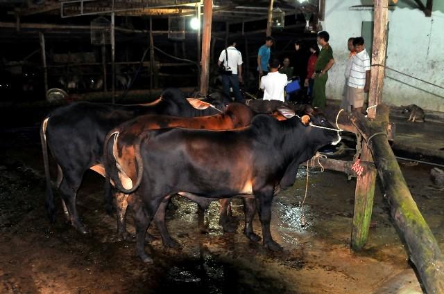 Bắt quả tang cơ sở bơm nước cho bò trước khi giết mổ