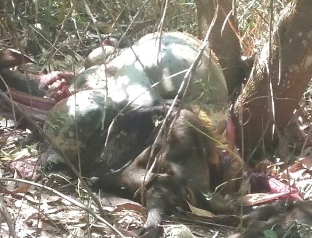 Đồng Nai: Phát hiện một con bò tót nghi bị bắn chết