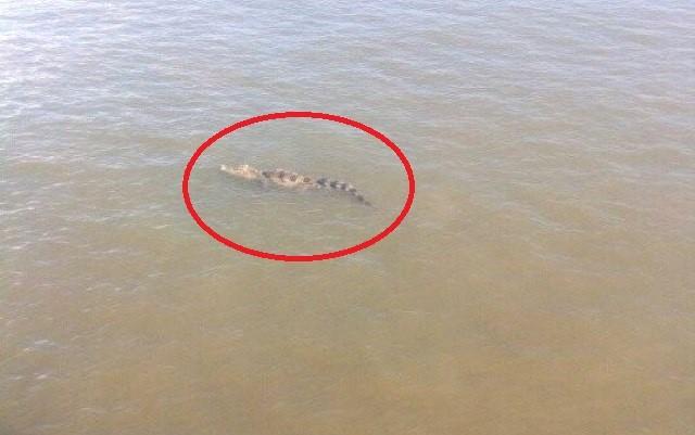 Đang vây bắt cá sấu sổng chuồng bơi trên sông Xoài Rạp
