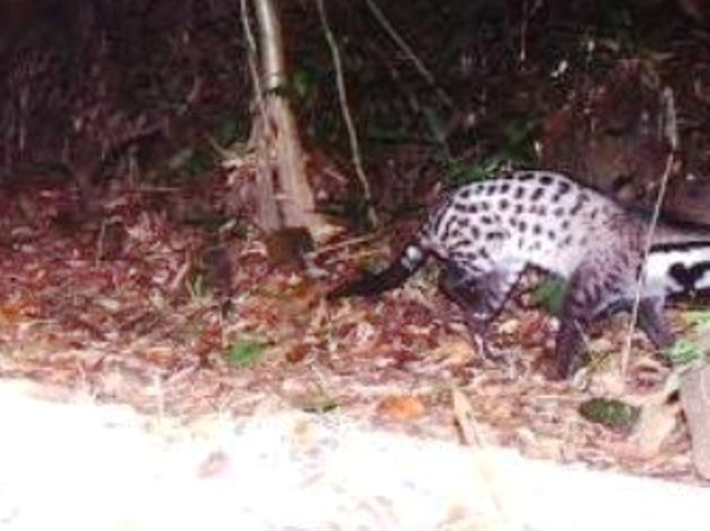 Phát hiện loài cầy được cho là tuyệt chủng ở Việt Nam