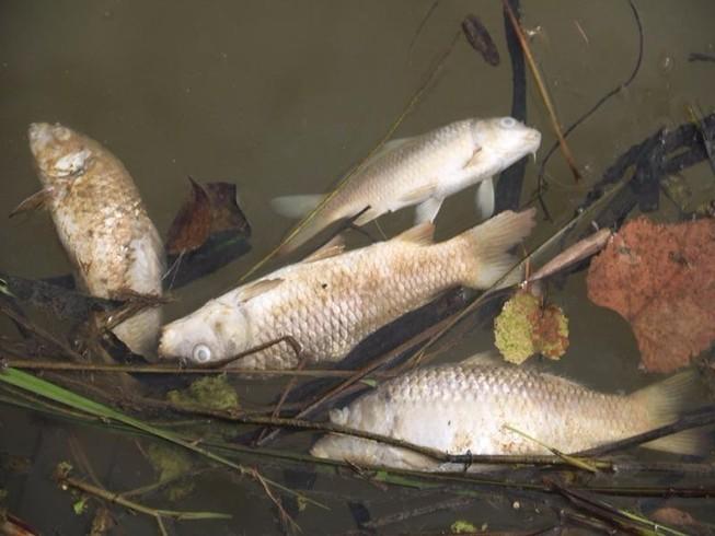 Quảng Nam: Cá chết hàng loạt trên sông Trầu