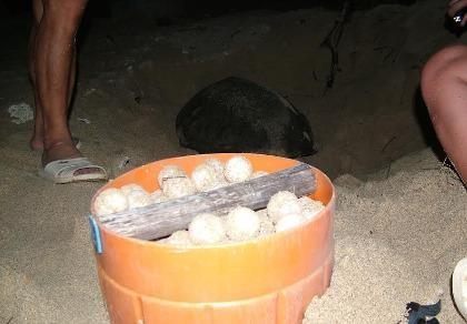 Đề nghị khởi tố vụ án trộm 1.480 trứng rùa biển