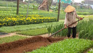 Quảng Nam: Làng rau lừng danh Trà Quế vào tết