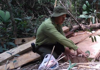 Phát hiện 164 phách gỗ Pơ mu gần cửa khẩu Nam Giang