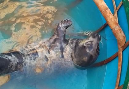 Quảng Nam: Ngư dân vây bắt hải cẩu dạt vào bờ biển