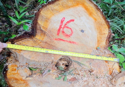 Ba đối tượng liên quan phá rừng pơ mu ở Quảng Nam đã đầu thú