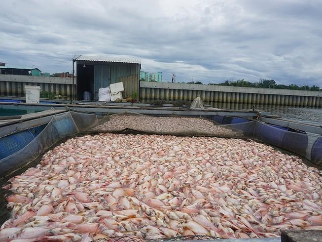 Trong vài giờ, cá chết trắng sông Cổ Cò