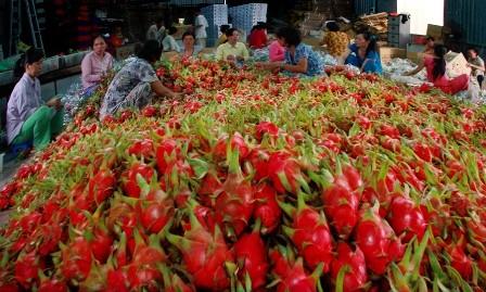 Thanh Long xuất sang Trung Quốc có giá 14.000 đồng/kg