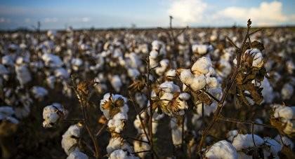 IS xuất khẩu vải bông để kiếm tiền