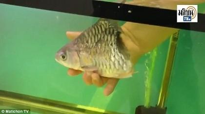 Kỳ diệu: Chú cá mất nửa cơ thể vẫn bơi lội tung tăng