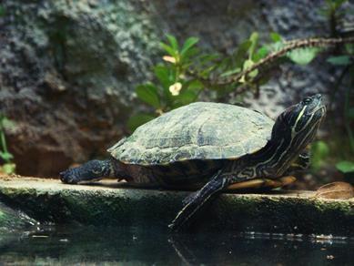 Giấu 51 con rùa trong quần, lĩnh án tù 5 năm