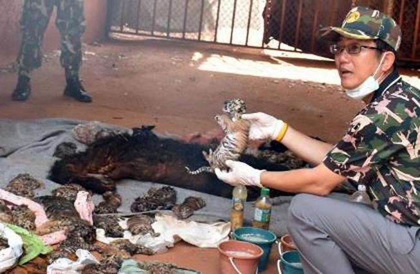 Phát hiện 40 xác hổ con trong ngôi đền nổi tiếng Thái Lan