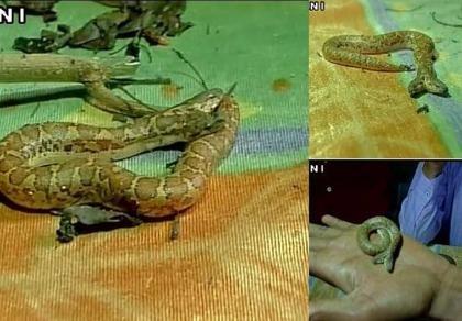 Phát hiện rắn hai đầu hiếm thấy ở Ấn Độ
