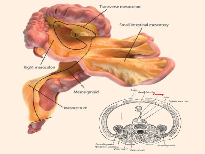 Cơ thể người có thêm bộ phận nội tạng mới