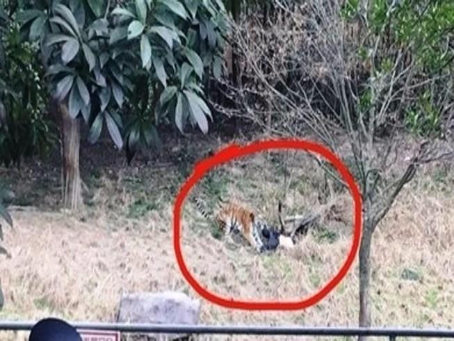 Du khách bị hổ vồ chết tại vườn thú Trung Quốc