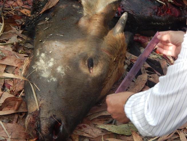 Khởi tố vụ bò tót bị bắn chết tại Đồng Nai