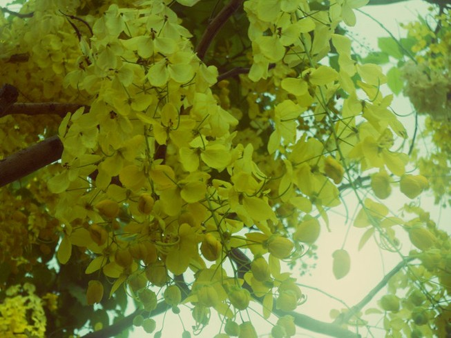 Xôn xao mùa hoa bò cạp