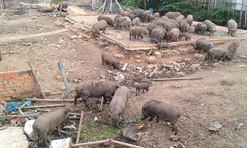 Trại heo rừng gây ô nhiễm vẫn chăn thả công khai giữa TP.HCM