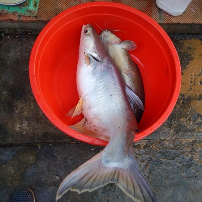 Bắt được cá basa 'khủng' 9 kg trên sông Đồng Nai
