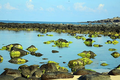 Nghi tảo độc là tác nhân gây cá chết ở đảo Phú Quý