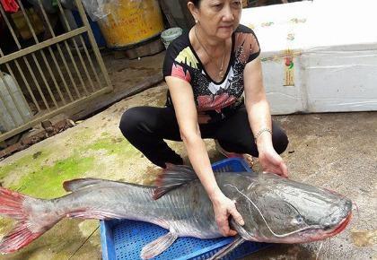 Cá lăng 'khủng' to bằng người lớn trên sông Sêrêpốk dính câu