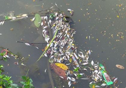 Cá nổi dày đặc trên sông An Cựu