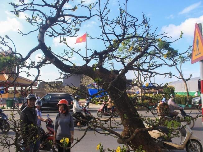 Cây mai tiền tỉ tại chợ hoa xuân ở Huế