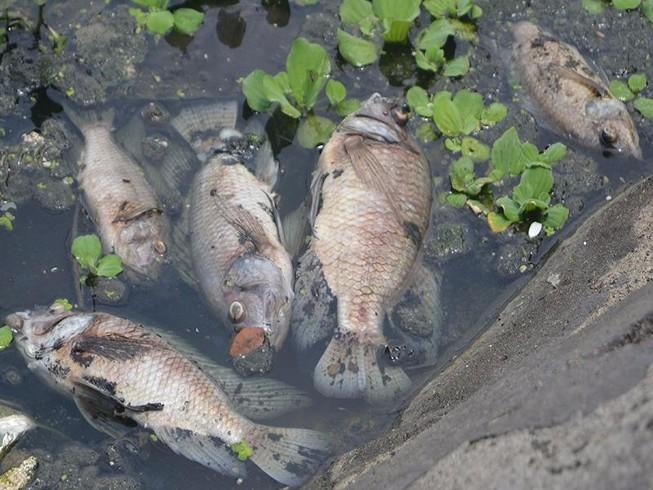 Cá chết bất thường nổi lềnh bềnh trên mặt hồ ở Đà Nẵng