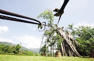 Gần 2,5 tỷ đồng phục hồi cây đa Tân Trào