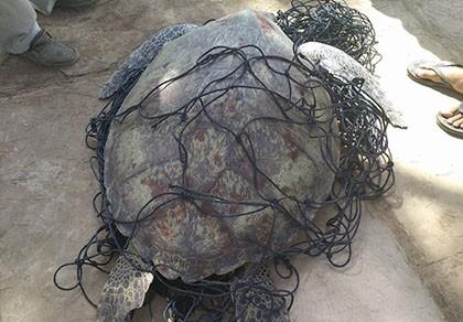 Bắt được rùa biển nặng 62kg