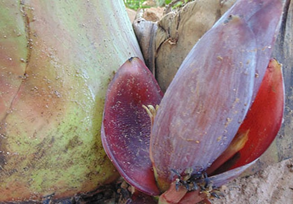 Kỳ lạ bắp chuối mọc từ gốc