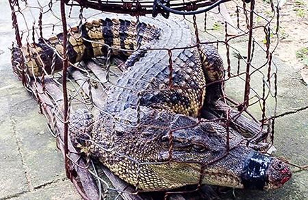 Hoảng hồn phát hiện cá sấu trong khu dân cư