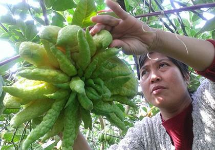 Ngắm vườn phật thủ bạc tỉ của nông dân Hà Nội