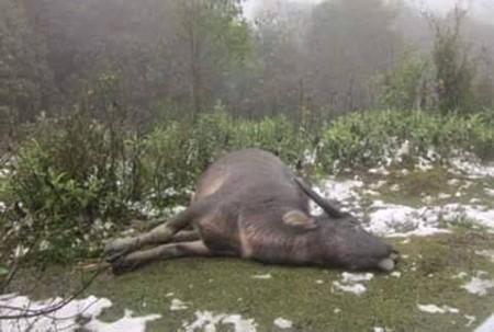 Mưa tuyết, băng giá lịch sử khiến hàng chục con trâu, bò chết