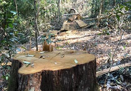 Rừng phòng hộ Nam Cát Tiên bị lâm tặc chặt hạ cả chục cây gỗ lớn