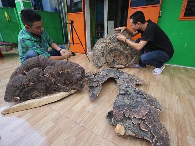 Nấm linh chi 'khủng' có hình dáng kỳ lạ