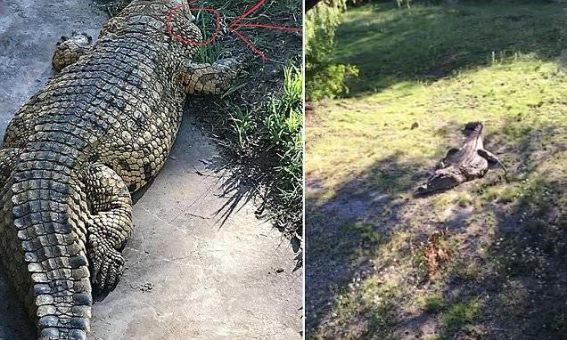 Lạnh người quả bóng golf nép mình cạnh cá sấu khổng lồ