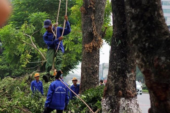 Cắt tỉa hàng cây Kim Mã trước khi di dời