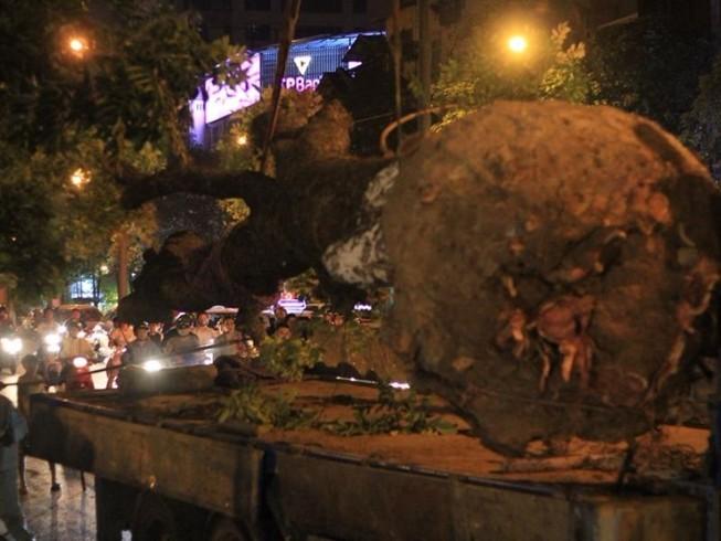 Cả đêm di chuyển những cây cổ thụ trên đường Kim Mã