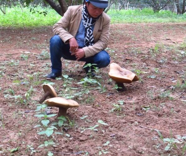 Huế: Hoang mang nấm khổng lồ tấn công vườn thanh trà