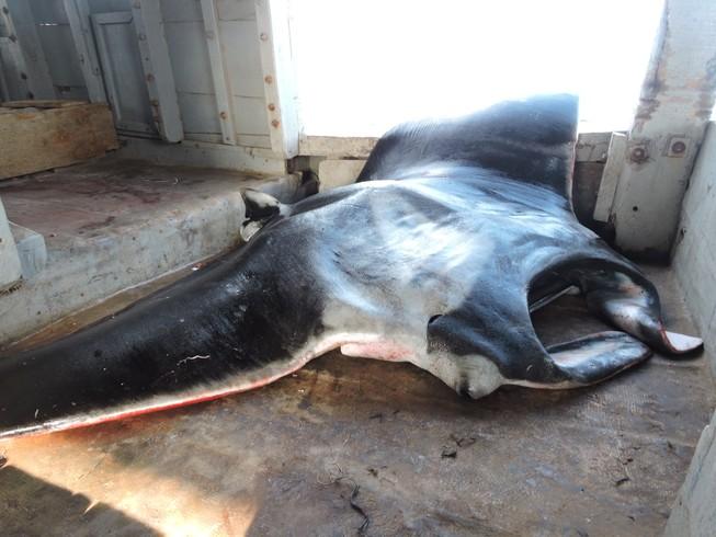 Cá 'khủng' dính lưới ngư dân