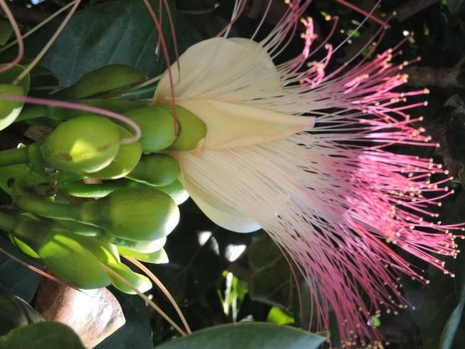 Mãn nhãn vẻ đẹp kiêu sa của hoa bàng vuông Lý Sơn